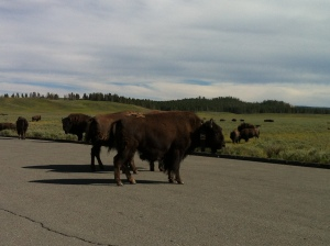 Bison crossing road in Yellowstone