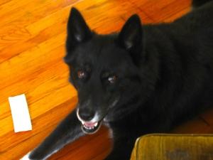 Abby dog